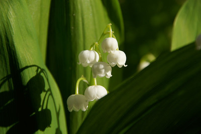 Lily of the Valley in my back yard.