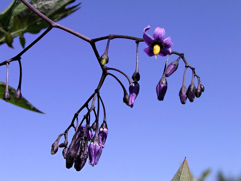 """From July 2003 - Climbing Nightshade from another angle;  I'd been calling them """"Bat"""" berries cause they look like sleeping bats hanging from a branch.  Poisonous!!<br /> <br /> <br /> 3088_CRW_01a__"""