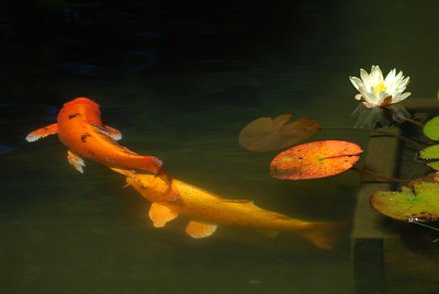 © Joseph Dougherty. All rights reserved.   Koi, Cyprinus carpio, in Japanese garden pond.    Koi (錦鯉; shortened from Japanese nishikigoi) come in an infinite variety of colors and patterns, distilled from the bland coloration of their wild carp forebears through centuries of selective breeding.   Koi varieties are distinguished by coloration, patterning, and scalation. Butterfly koi, developed in the 1980s and notable for their long and flowing fins, are actually hybrids with Asian carp, and not considered true koi.   Koi breeding is generally held to have begun around the 17th century in the Niigata prefecture of Japan. Farmers working the rice fields would notice that some carp would be more brightly colored than others, capture them, and raise them (when normally the brighter colors would doom the fish to be more likely eaten by birds and other predators). By the 19th century, a number of color patterns had been established, most notably the red-and-white kohaku, but the outside world did not become aware of the degree of development until 1914, when the Niigata koi were exhibited in Tokyo, and some of them presented to Crown Prince Hirohito. At that point, interest in koi exploded throughout Japan and later worldwide.