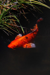 © Joseph Dougherty. All rights reserved.   Kawarimono Koi, Cyprinus carpio, in Japanese garden pond.    Koi (錦鯉; shortened from Japanese nishikigoi) come in an infinite variety of colors and patterns, distilled from the bland coloration of their wild carp forebears through centuries of selective breeding.   Koi varieties are distinguished by coloration, patterning, and scalation. Butterfly koi, developed in the 1980s and notable for their long and flowing fins, are actually hybrids with Asian carp, and not considered true koi.   Koi breeding is generally held to have begun around the 17th century in the Niigata prefecture of Japan. Farmers working the rice fields would notice that some carp would be more brightly colored than others, capture them, and raise them (when normally the brighter colors would doom the fish to be more likely eaten by birds and other predators). By the 19th century, a number of color patterns had been established, most notably the red-and-white kohaku, but the outside world did not become aware of the degree of development until 1914, when the Niigata koi were exhibited in Tokyo, and some of them presented to Crown Prince Hirohito. At that point, interest in koi exploded throughout Japan and later worldwide.
