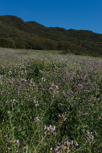 Wild flowers in the foothills of the Santa Monica mountains