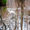 Egret fishing in the swamps of Mickleton