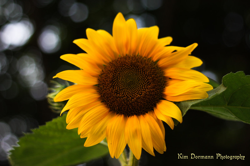 Some sun in the Sun Flower