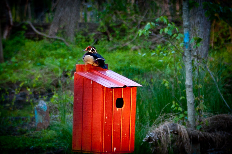 Wood duck taking a break before going out to forage