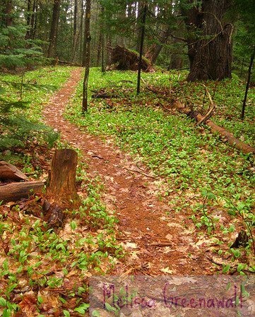 Canada Mayflower blankets the forest floor first thing every spring, a shockingly-green (and welcome!) change from the stark neutral of winter.  Blair Woodland Natural Area, Campton, NH.