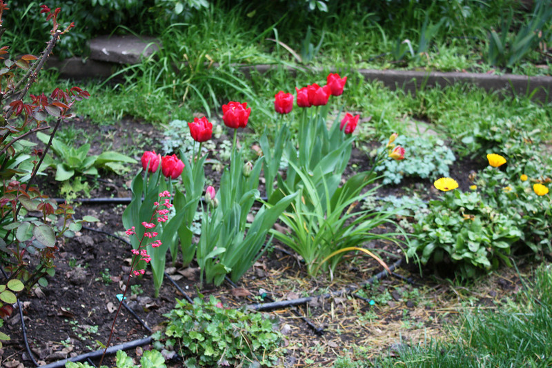 Tulips and calendulas and one coral bell
