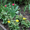 More tulips and calendulas