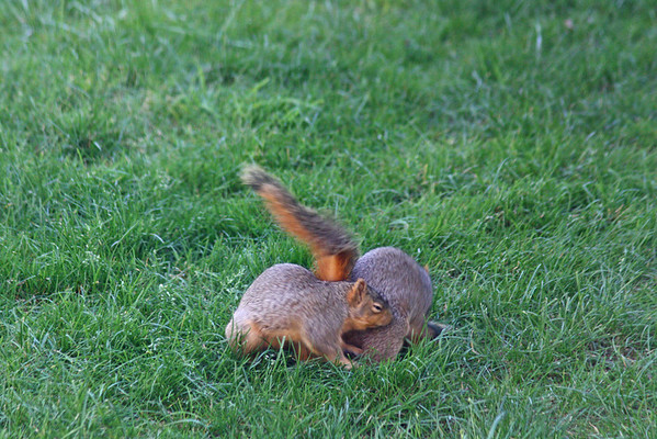 Squirrels in spring