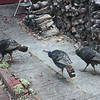 Wild turkeys by the wood pile