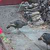 Wild turkeys leaving the yard