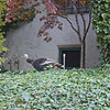 Wild turkey in another neighbor's yard