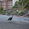 Wild turkey crossing the street