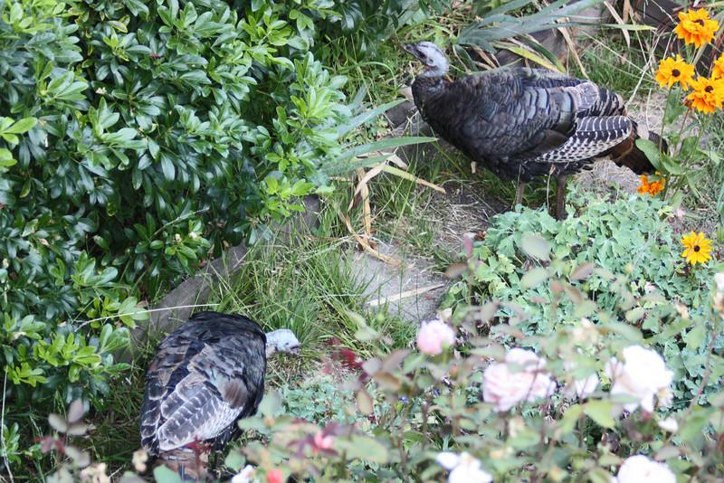 Wild turkeys behind the rose bushes