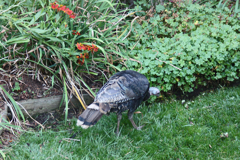 Wild turkey by the heleniums and geraniums