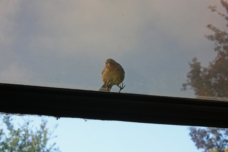 Towhee on kitchen window - what do you want, silly bird?