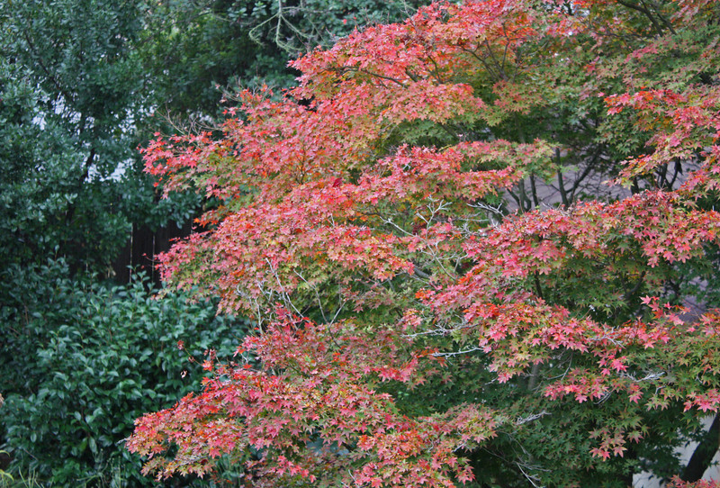 Japanese maple color, November 2009