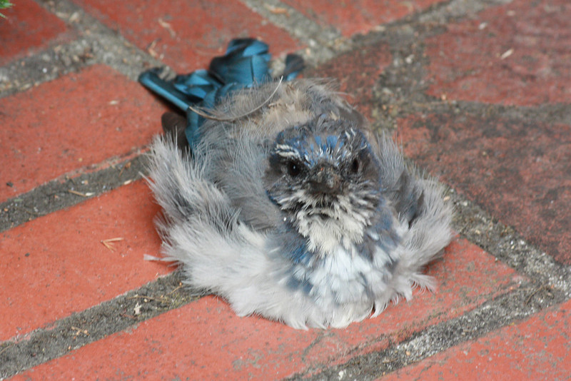 Scrub jay on stoop.  He really doesn't look well, does he?  But he eventually flew away.