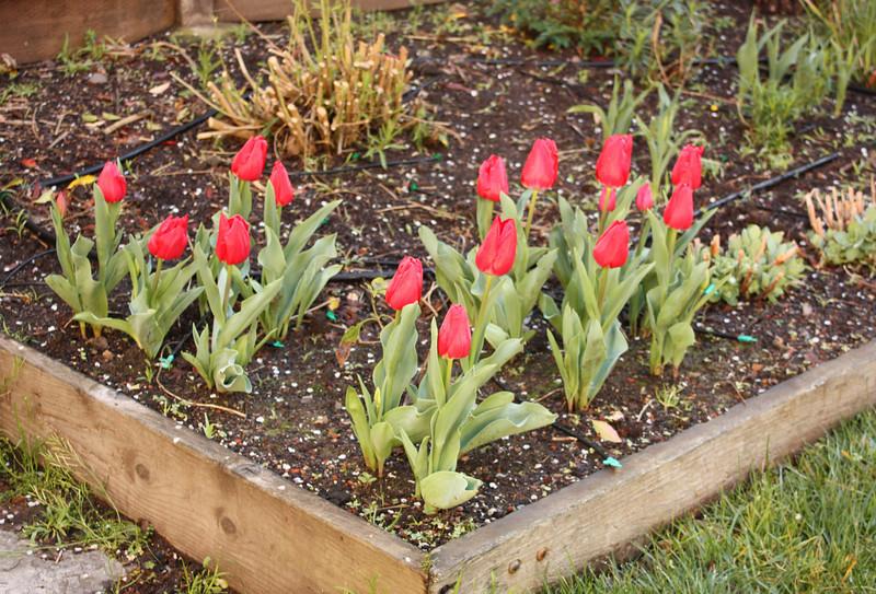 New tulips, Feb. '09
