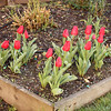 New tulips, Feb. '09