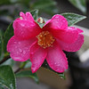 Camellias in the rain, Jan. 2011