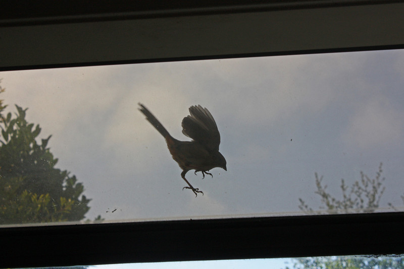 Towhee on kitchen window - he walked around on the greenhouse window, pecking at it, for about 10 minutes.