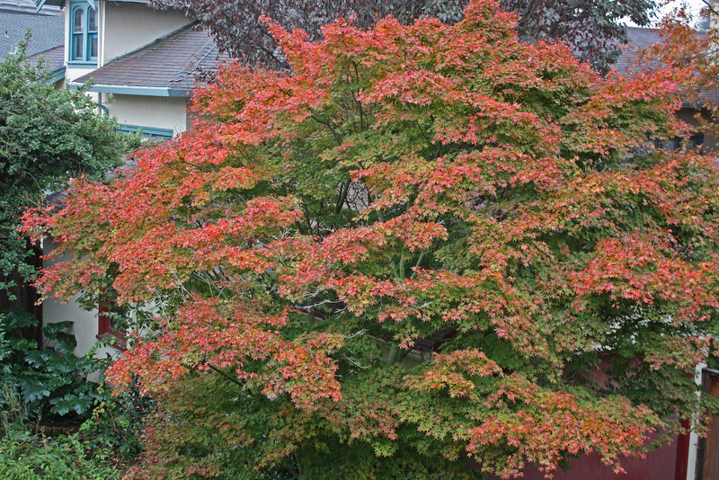 Japanese maple, color, Nov. 2009