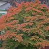 Japanese maple, color, Nov. 2009