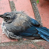 Scrub jay on stoop; we aren't sure why he just sat there.