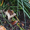 Mushrooms, December 2010.  We think they may be growing on a leftover root from the neighbor's liquidambar that was cut down a few years ago.