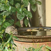 Rat drinking from bird bath - not all our yard residents are so cute...