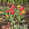 Tulips and geums, Feb. '09