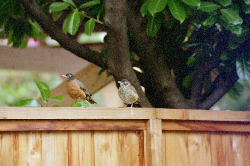 Adult and juvenile robin - this was 2005, we don't get visible fledglings every year.  He was chasing Mom around, looking for food - she was running.