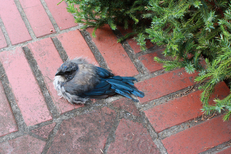 Scrub jay on stoop; he sat there for quite a while.