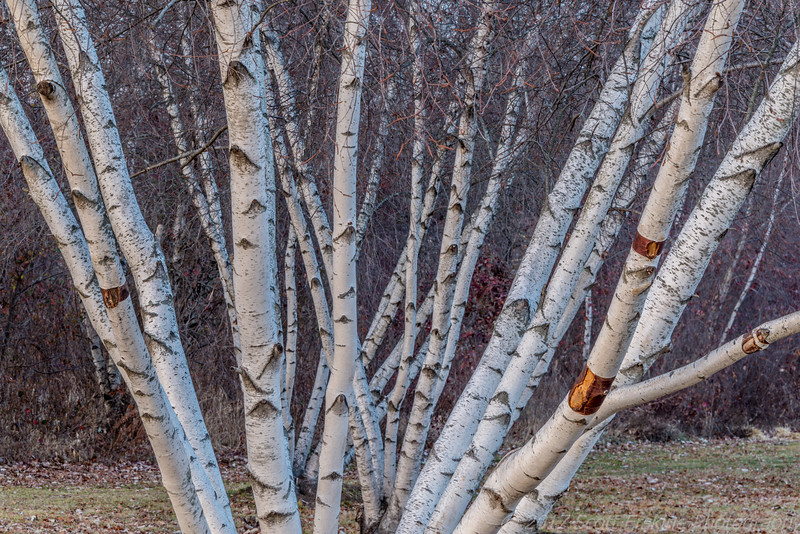 Enlightend Birches