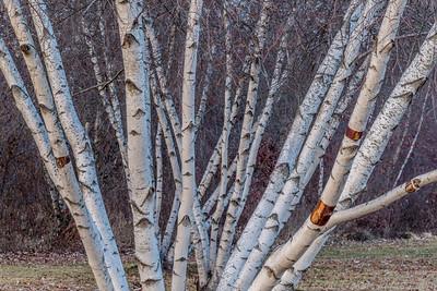 Enlightend Birches