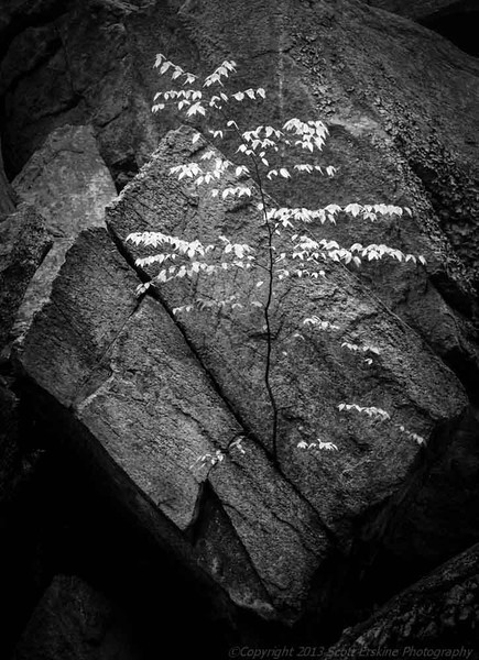 Birch and Bolder, Purgatory State Park, Sutton MA, Monochrome