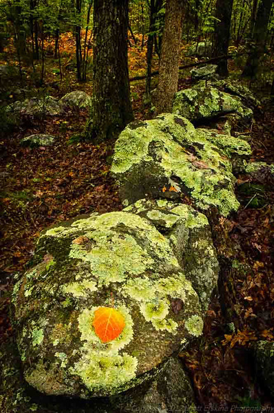 Birch Leaf, Granite and Lichen.  An old, lichen covered rock wall in the middle of the forest.  Blackstone, Massachusetts