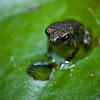 Frog (unknown name) on a lily leaf