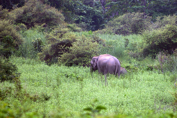 Forest elephant in northern India.