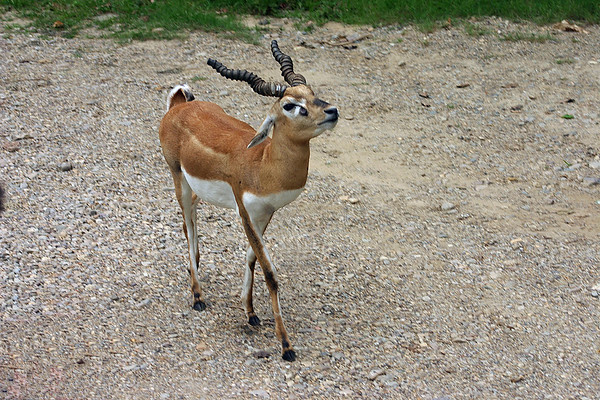 Young Blackbuck on the road in northern India.