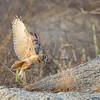 Eurasian Eagle Owl, juvenile