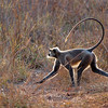 Hanuman or Common Langur;monkey;India