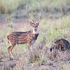 Deer;Chital or Spotted Deer;India