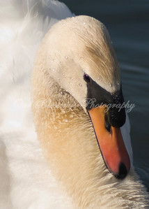 This is what a swan looks like right before it attacks you!!!! It was worth the shot though.
