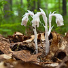 I've never photographed Indian pipes well so I'm trying harder this year.  Found these in the Cedar Swamp Preserve.