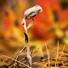 Like it's warming its leaves against a bonfire, this lone Indian Pipe braves the October chill. OM 90mm at probably f8.