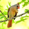 Cardinal  -  female