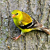 American Goldfinch  -  female  -  on side of a tree