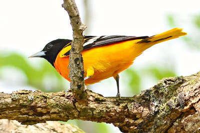 Indiana Birds 2014