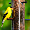 American Gold Finch  -  male